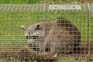 Raccoon, Procyon lotor, in an animal trap